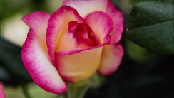 Beautiful Pink Rose Flower Images All Flowers Send Flowers