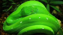 Download The Free Green Snake Wallpapera