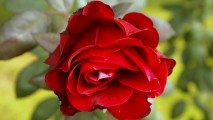Beautiful Red Rose Wallpaper Cosmo Flowers