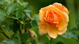 Awesome Orange Rose Flowers Wallpaper HD Widescreen