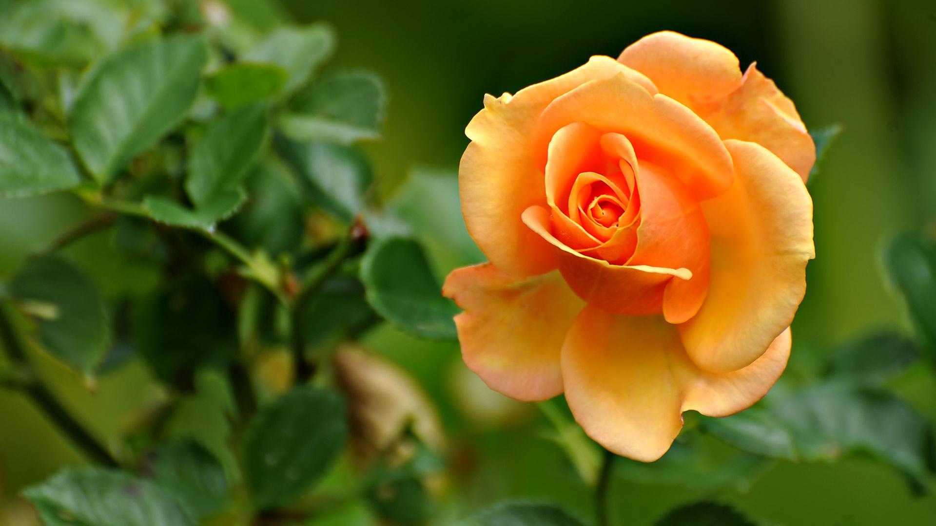 Awesome Orange Rose Flowers Wallpaper HD Widescreen - Wallsev.com - Download Free HD Wallpapers