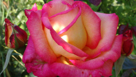 Beautiful White And Pink Rose Flower Picture Photo
