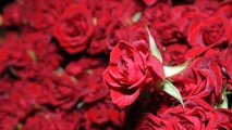 Carnation Flower Red Rose Flow Flowers Photos
