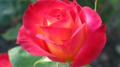 Rose Flowers Pictures Flowers History Image Picture Gallerya