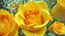 Yellow Flower Yellow Rose Photo Wallpaper Rose Flowers