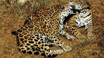 Jaguar Animal Photos Pictures Images Gallery