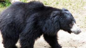 Animal Predator Sloth Bear Pictures Photos Gallery