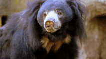 Sloth Bear Animal Photo Black Bear Animal Picture