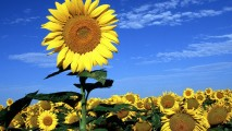 Big Sunflower In Sunflowers Field HD Wallpaper For Your Desktop