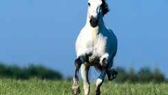 Running White Horse Picture Photos And HD Wallpapers