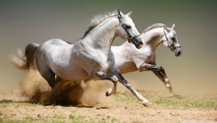 Awesome White Horse Run Animal Photo Picture Gallery