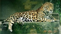 Jaguar Animal Picture HD Wallpaper Free Download