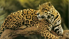 Related Posts Animal Pictures Jaguar At Tree HD Wallpaper