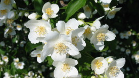 Jasmine Flowers In The Garden Photo Picture Image Gallery