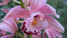Beautiful Orchid Flower Picture Photo Wallpaper Widescreen