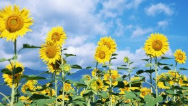 Sunflowers Garden Photo Picture Free Download For PC Desktop