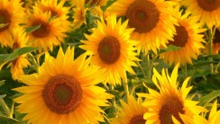 Sunflowers Free Wallpaper Picture For your PC Computer
