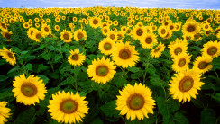 Beautiful Many Sunflowers In The Garden Photo Picture Free