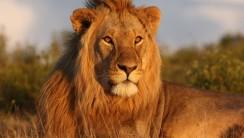 Golden Lion Animal Wallpaper HD Widescreen Gallery