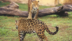 Jaguar Animal Pictures Animal Wallpapers Animal Photos