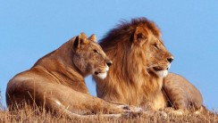 lion And Lioness Photo Picture HD Wallpaper For Desktop