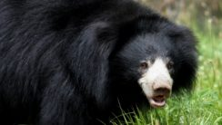 Sloth Bears Are Distinguished From Asian Black Bears