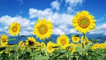 Free Download Sunflower Pictures Sunflower Photos
