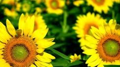 Beautiful Sunflower Pictures Wild Sunflower Photos