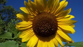 Awesome Big Sunflower Photo Picture Free Download