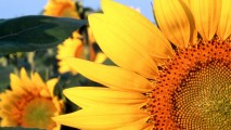 Sunflower Nebraska HD Wallpapers Photos Pictures Desktop