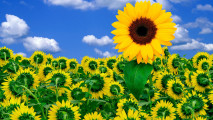 Now We Are Going To Sunflowers Photo Picture Wallpaper