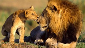 Wildlife Lions African Animal Photography Free Download