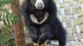 Awesome Sloth Bear Photo Picture HD Wallpaper Gallery