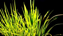 Grass With Black Background HD Wallpaper Macro Photography