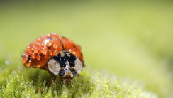 Awesome Ladybugs Macro Photography Wallpaper HD Picture Desktop