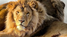 Animal Lions HDWallpaper Picture Photo Background For Your PC Desktop