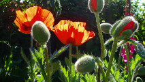 Oriental Poppy Flowers Photo Picture Wallpaper Widescreen Desktop
