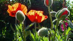 Oriental Poppy Flowers Photo Picture Wallpaper Widescreen Desktop