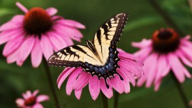 Free Download Butterfly In Pink Flowers Photo Picture Image