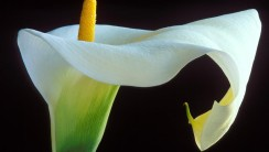 Canna Lily Flower Picture Wallpaper Background For PC Computer
