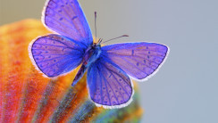 Awesome Purple Butterfly Image Picture HD Wallpaper Widescreen