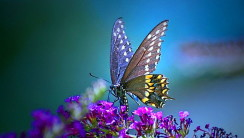 Butterfly Animal HD Wallpaper Widescreen Image Background