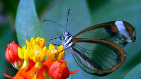 Butterfly Transparent Wings And Other Neat Things Photo HD Wallpaper