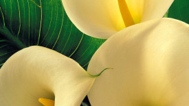 Calla Lily Flowers Wallpaper HD Widescreen For Your PC Computer