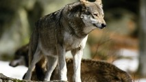 All Animal Predators Wolf Photo Picture HD Wallpaper For PC Desktop