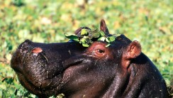 Hippopotamus Animal Predator Photo Picture HD Wallpaper Free Download