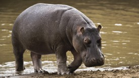 Hippopotamus Semi Aquatic Mammalias Photo Picture HD Wallpaper