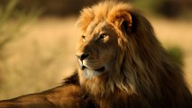 Lion Animals HD Wallpaper Background Desktop Photo Picture Gallery