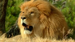 Lion Animal Predator Photo Picture HD Wallpaper Widescreen