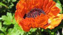 Best Flowers In The World Oriental Poppy Flower Picture HD Wallpaper
